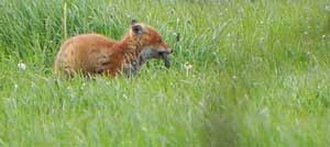 fox eating