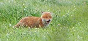 fox-barking
