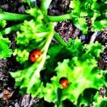 ladybirds2onkale