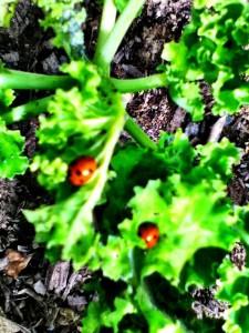 two ladybirds on kale